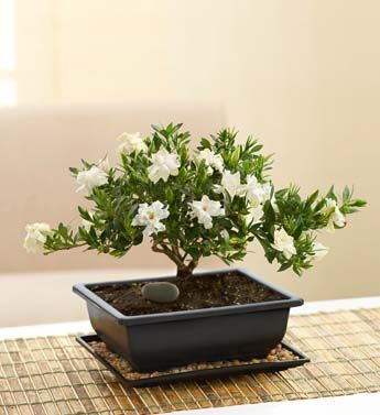 Gardenia Bonsai From 1 800 Flowers Com Gardenia Trees Plants Bonsai Plants