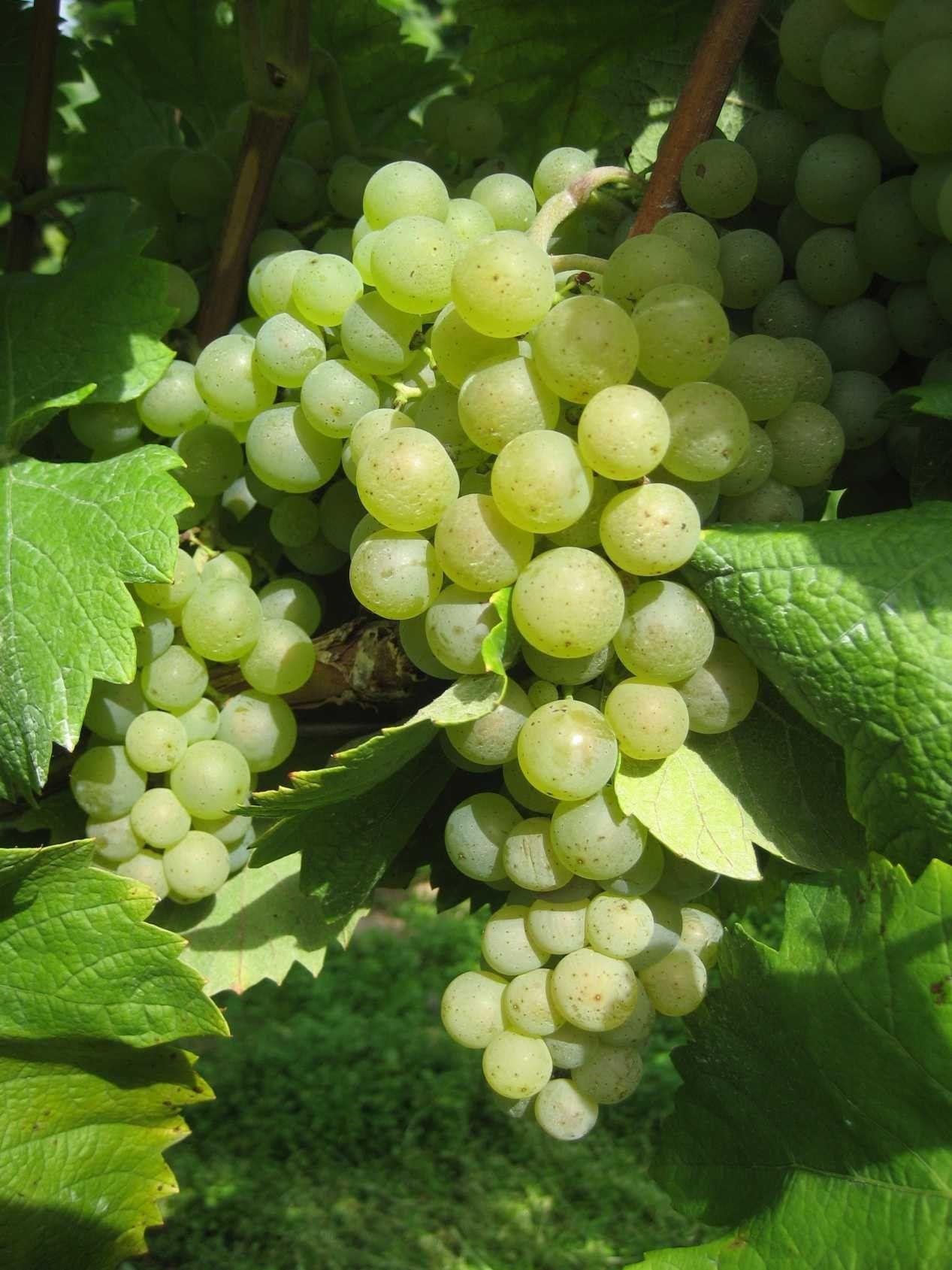 Was Kann Man Mit Weintrauben Aus Dem Garten Machen Von Unseren