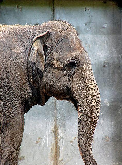 Ambika Elephant Love Animals Wild Asian Elephant