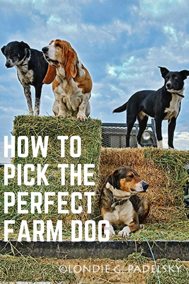 179 best Farm Dogs images on Pinterest | Farm dogs ... |Small Dogs Farm
