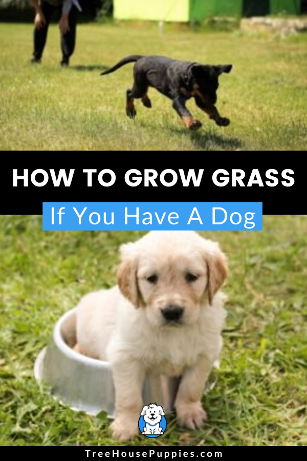 How To Grow Grass When You Have Dogs Around In 2020 Growing Grass Puppy Care Dogs