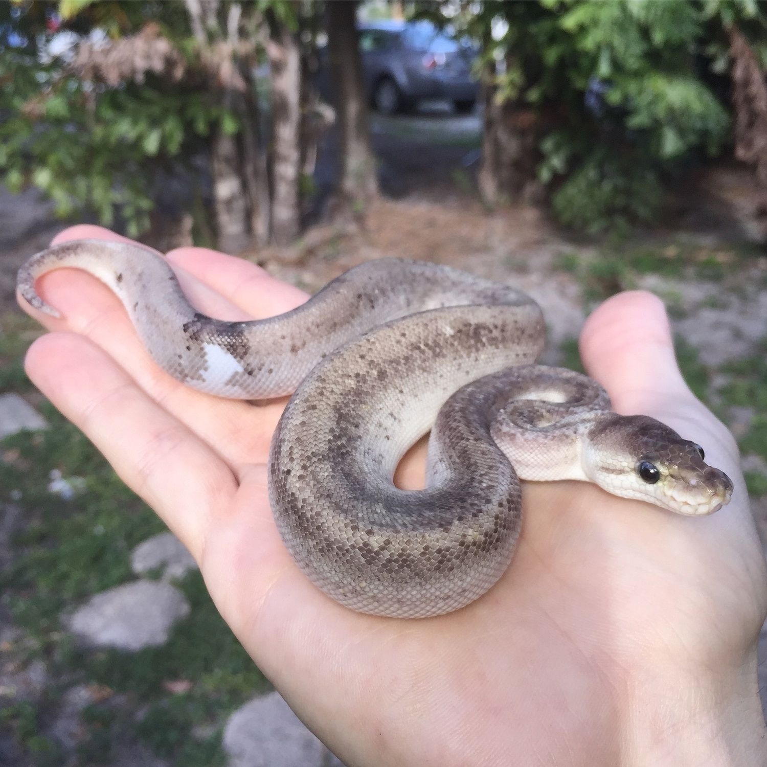 Silver Bullet Possible Super Pewter Ball Python by Trademark Exotics -  MorphMarket USA 5e9f721d0