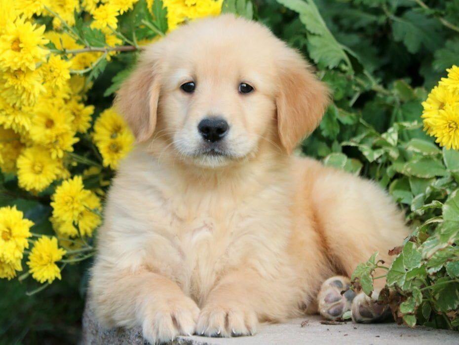 Golden Retriever Puppies For Sale Puppy Adoption Keystone Puppies
