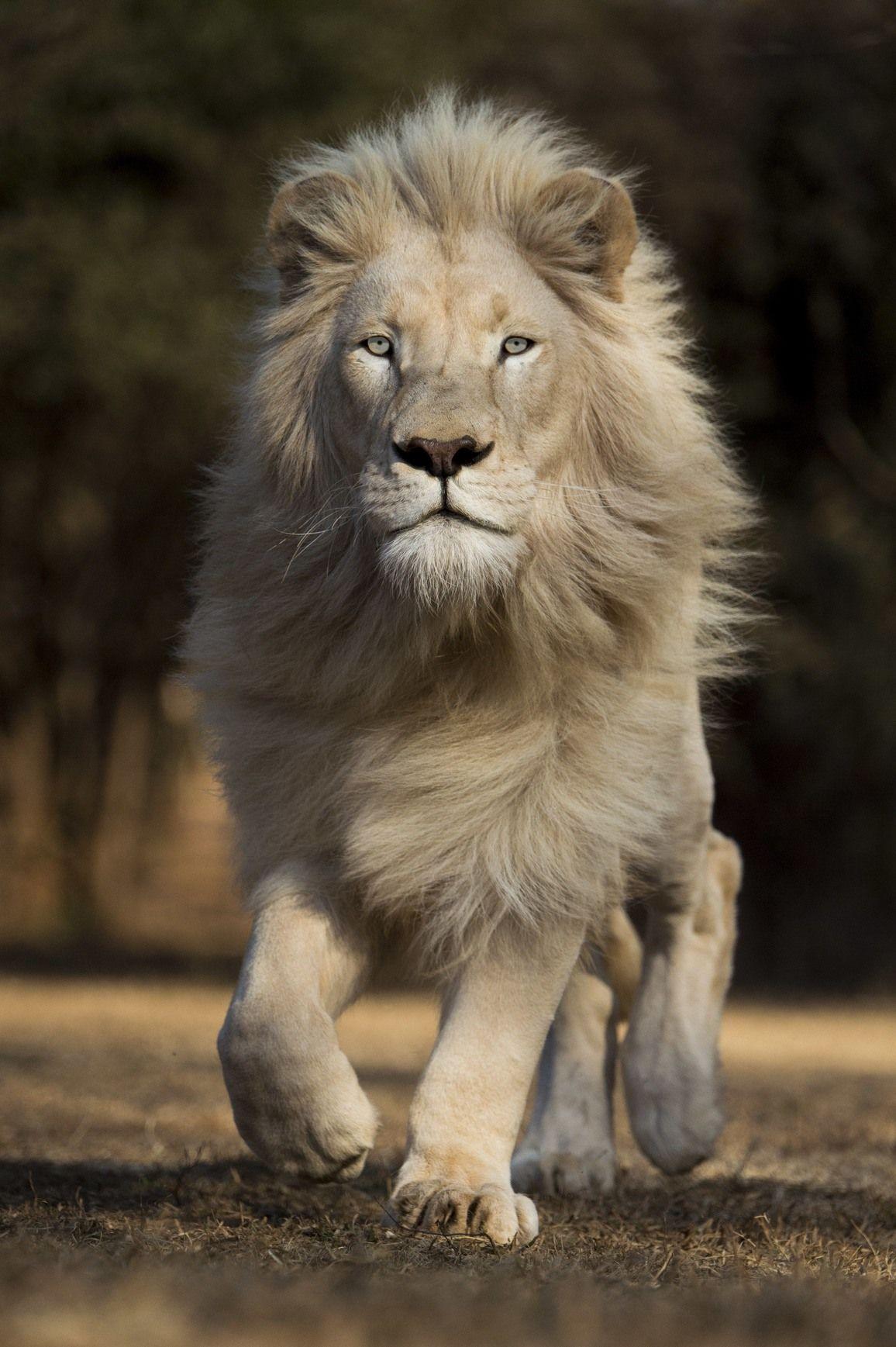 Los Leones Blancos De Timbavati En Sudafrica En 2020 Fotos De Animales Salvajes Fotografia De Leon Fotos De Animales