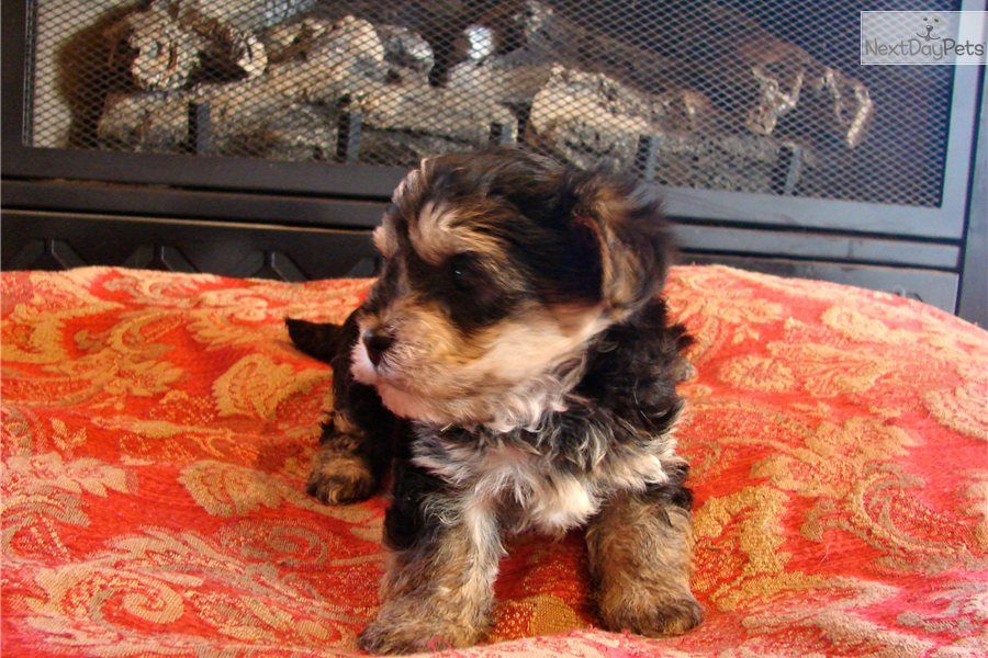 Macey mae puppies morkie dogs