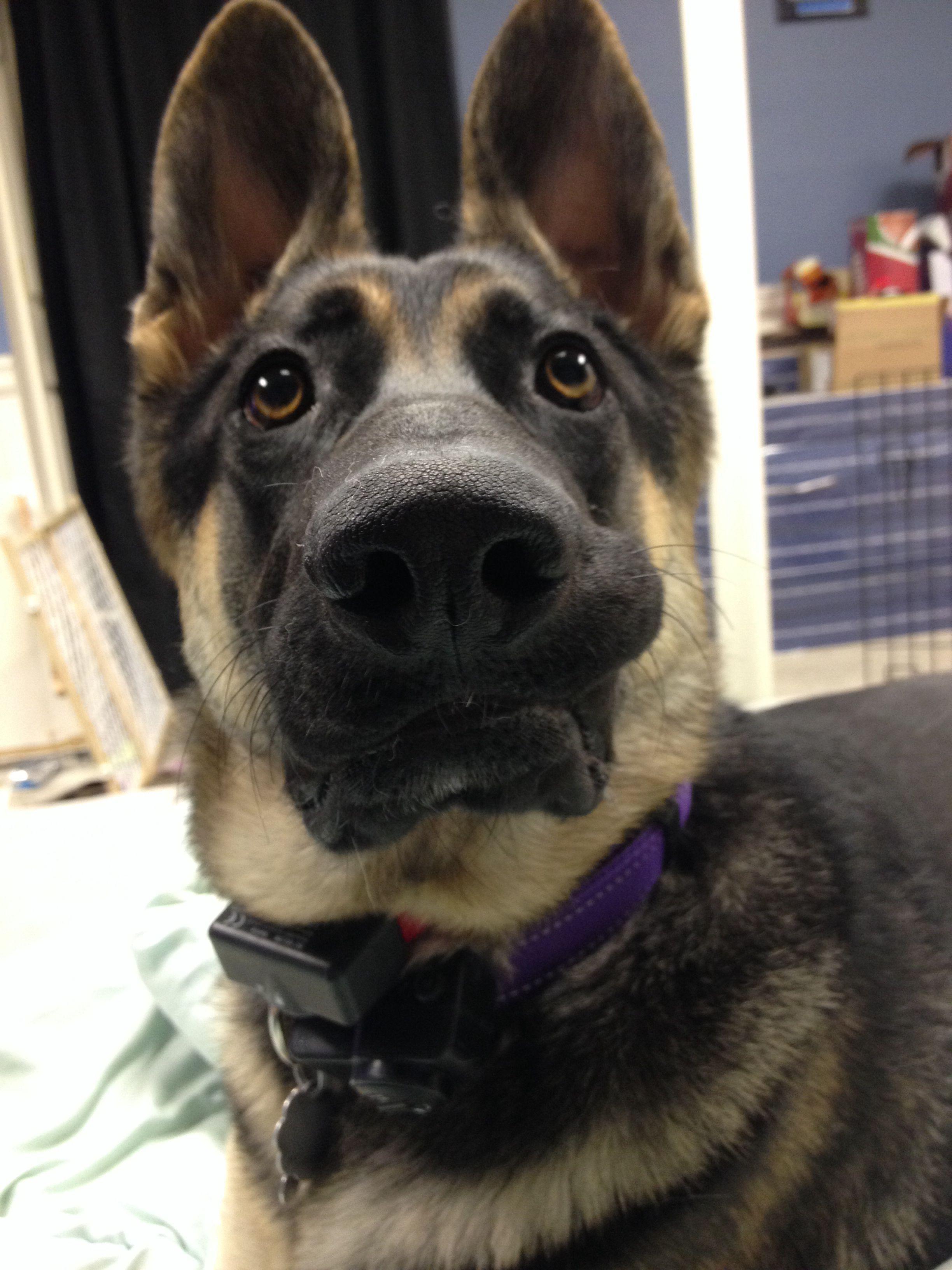 Mako 8 month German shepherd not impressed.