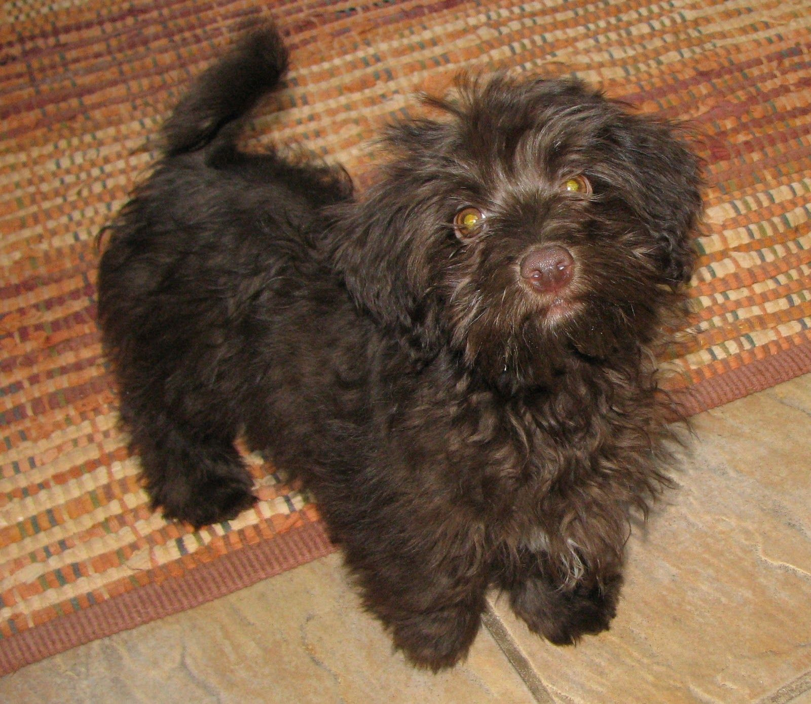 Breeder Of Quality Havanese Puppies In
