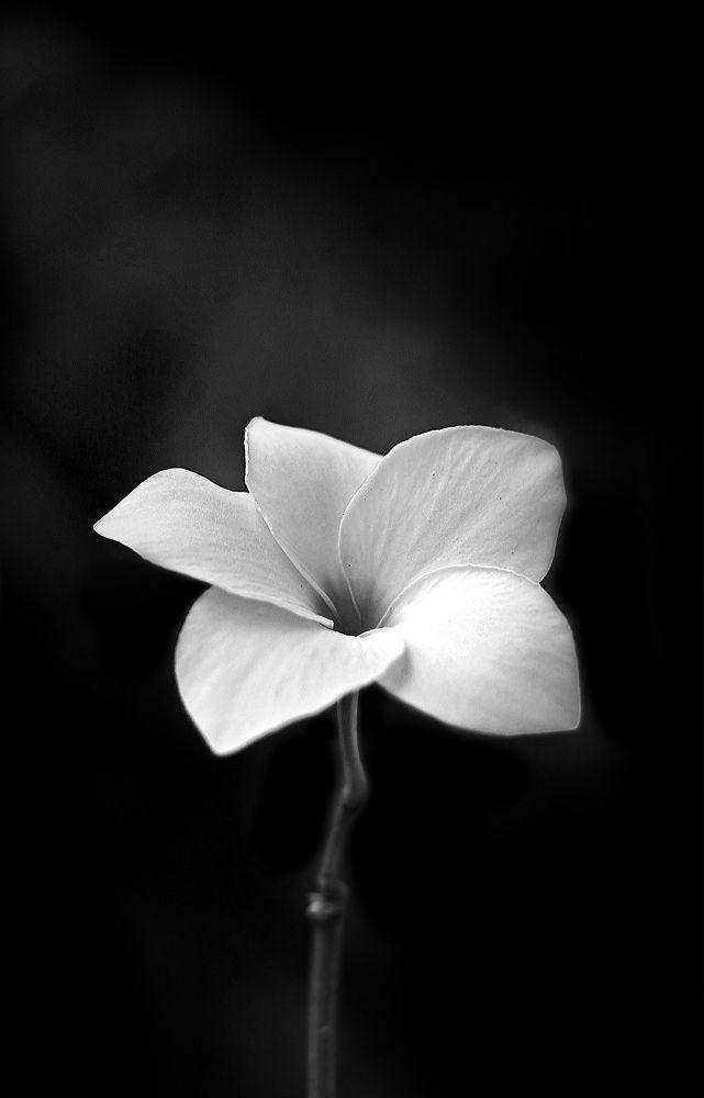 Fleur Blanche Contraste Noir Black And White Pinterest Noir