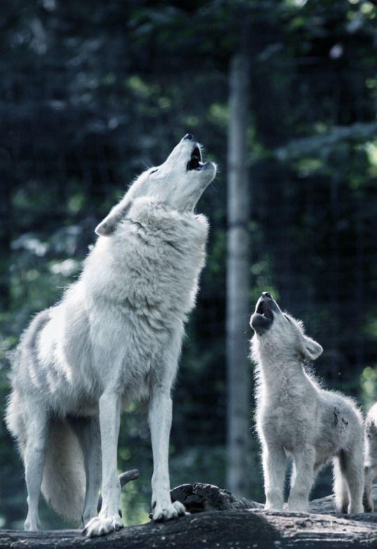 Johnnybravo20 Baby Wolves Wolf Love Wolf Dog