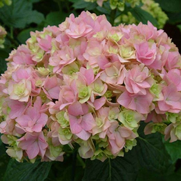 hortensia hydrangea macrophylla you and me together hydrangeas pinterest hydrangea. Black Bedroom Furniture Sets. Home Design Ideas