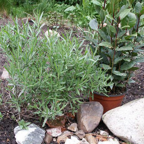 Garten Provence lavendel und lorbeer im garten ziehen kräuter gardens