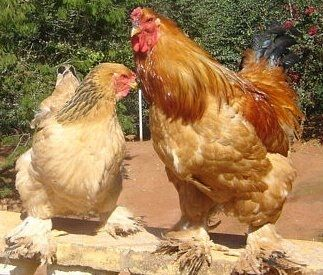 Buff Brahma Baby Chicks For Sale Chickens For Backyards Buff Brahma Chicks For Sale Brahma Chicken