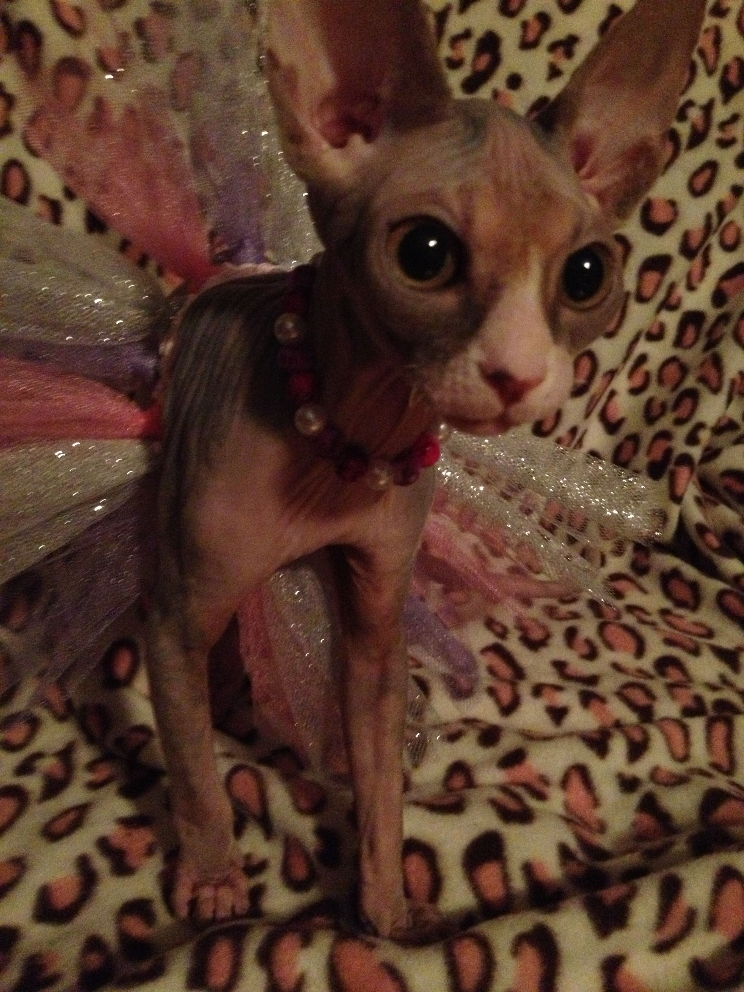 Baby Blue Sphynx Cats, kittens, Hairless kitten