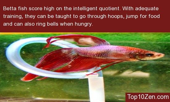 20 interesting betta fish facts to better know your betta for Betta fish information