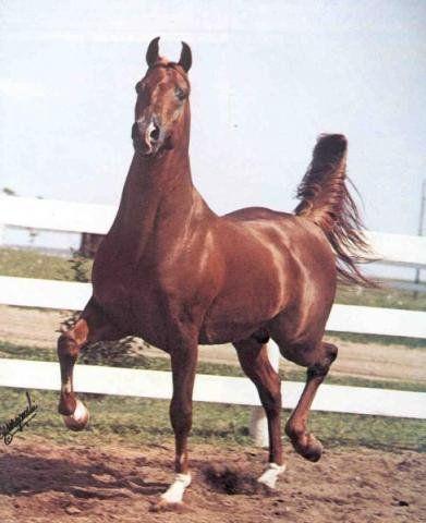 HIGH HOPES (Al Fahir x Cerise by Serafix) ~ 1978 Reserve Champion Park