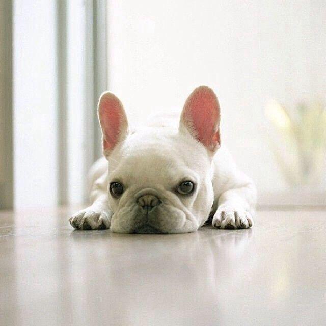 I Want One French Bulldog Puppies Cute Animals Bulldog