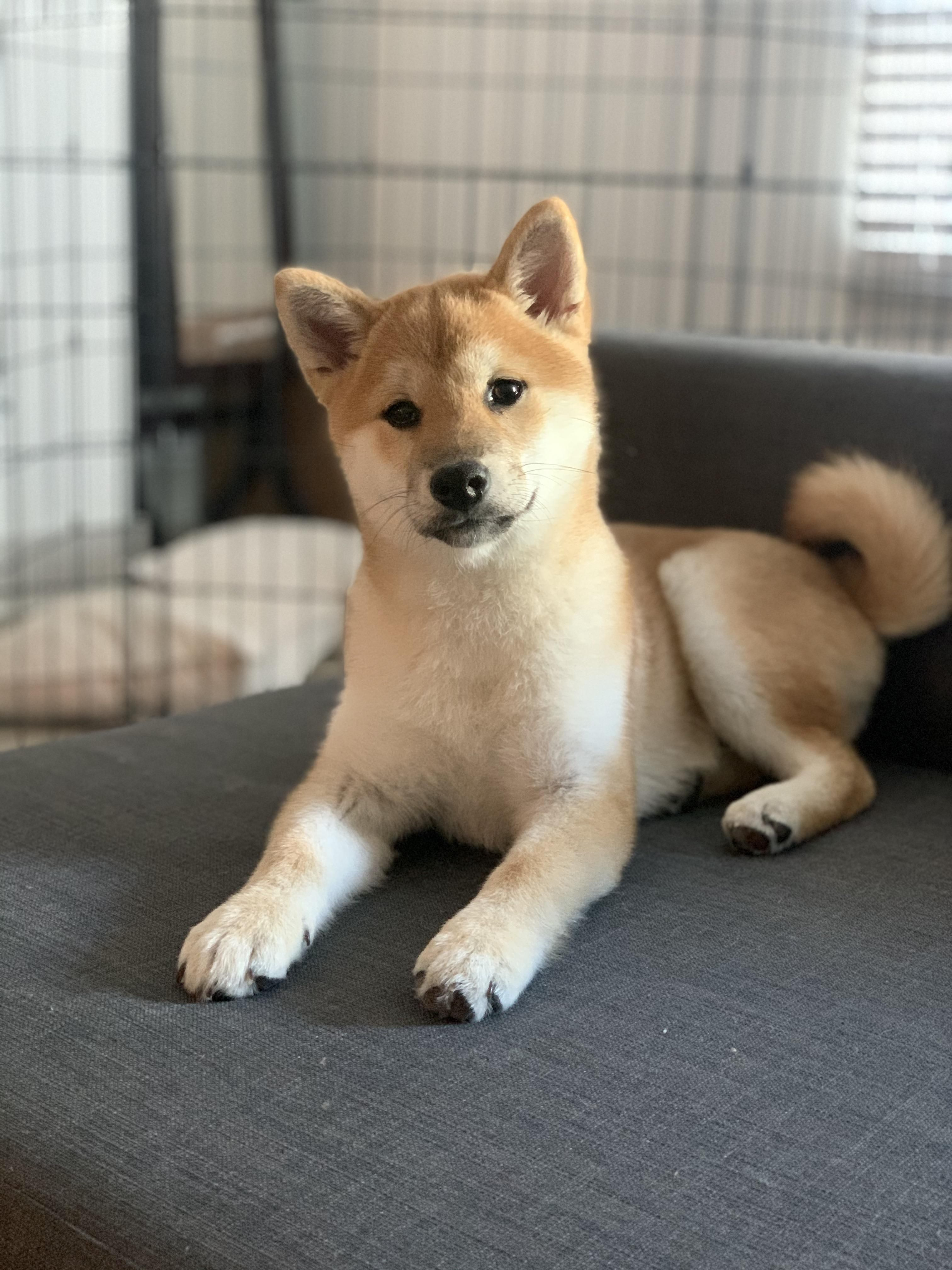 Don T Think My Earlier Post Posted But Here S Pepper At 14 Weeks Shibainu We 3 Shiba Inus In 2020 Shiba Inu Shiba Inu Puppy Cutest Dog Ever