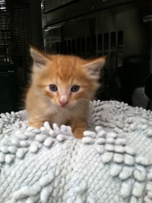 Petango Com Meet 24406809 A 1 Month 21 Days Domestic Medium Hair Mix Available For Adoption In Tampa Fl Cat Shelter Pets Cats