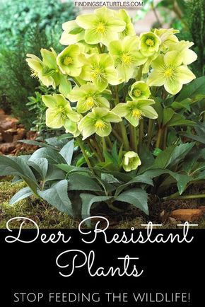 Photo of Deer Resistant Perennials: Stop Planting All-You-Can-Eat Garden Buffets – Finding Sea Turtles