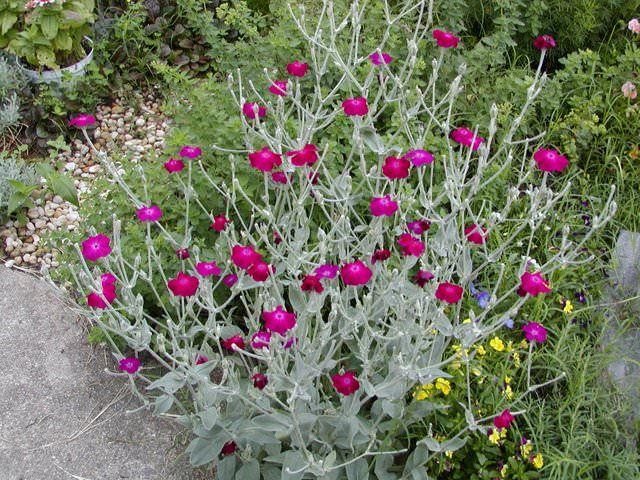 Best Silver Foliage Plants To Beautify Your Garden Drought Resistant Plants Drought Tolerant Plants Drought Tolerant Garden