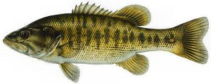 Guadalupe Bass Micropterus Treculii Fish Smallmouth Bass