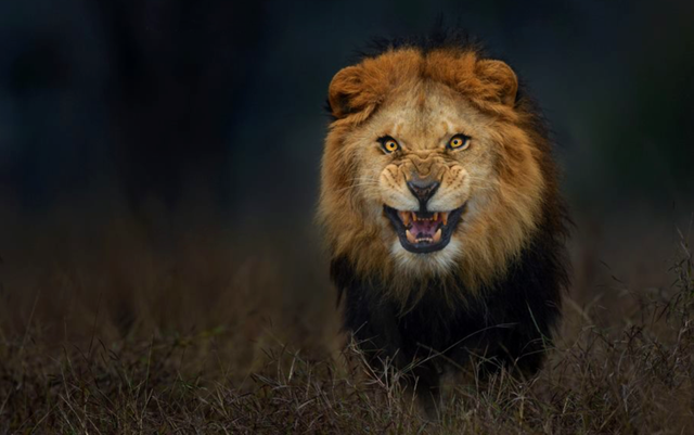 Striking Eyes Of A Angry Lion Animals Lion Pet Birds