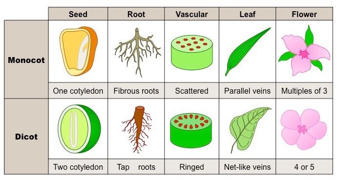 Image result for monocots vs dicots | learning latin names ... 10 Examples Of Monocot Plants