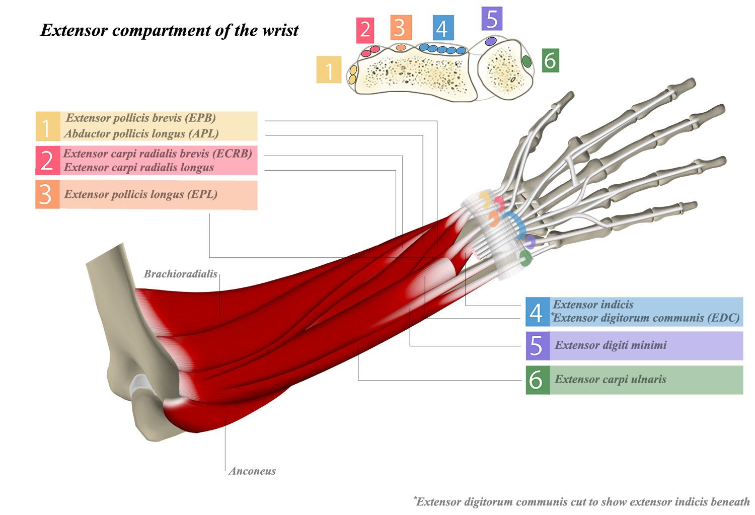 Extensor Tendon Compartments - Hand - Orthobullets.com | anatomy ...