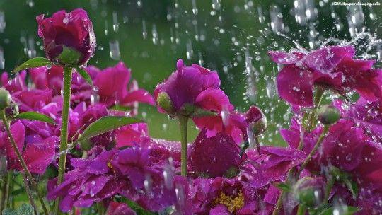 Beautiful Rain For Desktop Images Spring Wallpaper No Rain No Flowers Rain Pictures