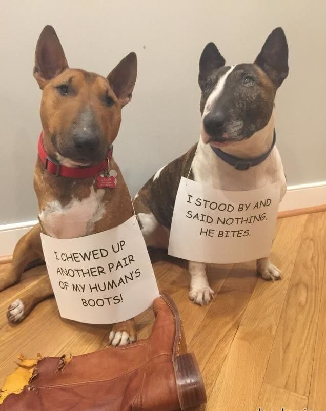 Bull Terrier Dog Shaming English Bull Terriers English Bull