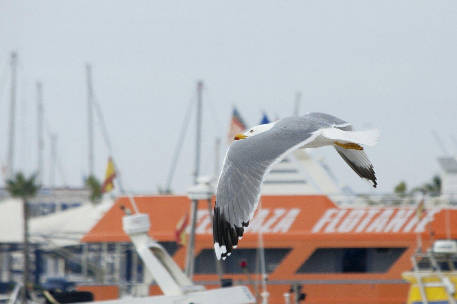 Santa Pola. Gaviota volando sobre el puerto marítimo.