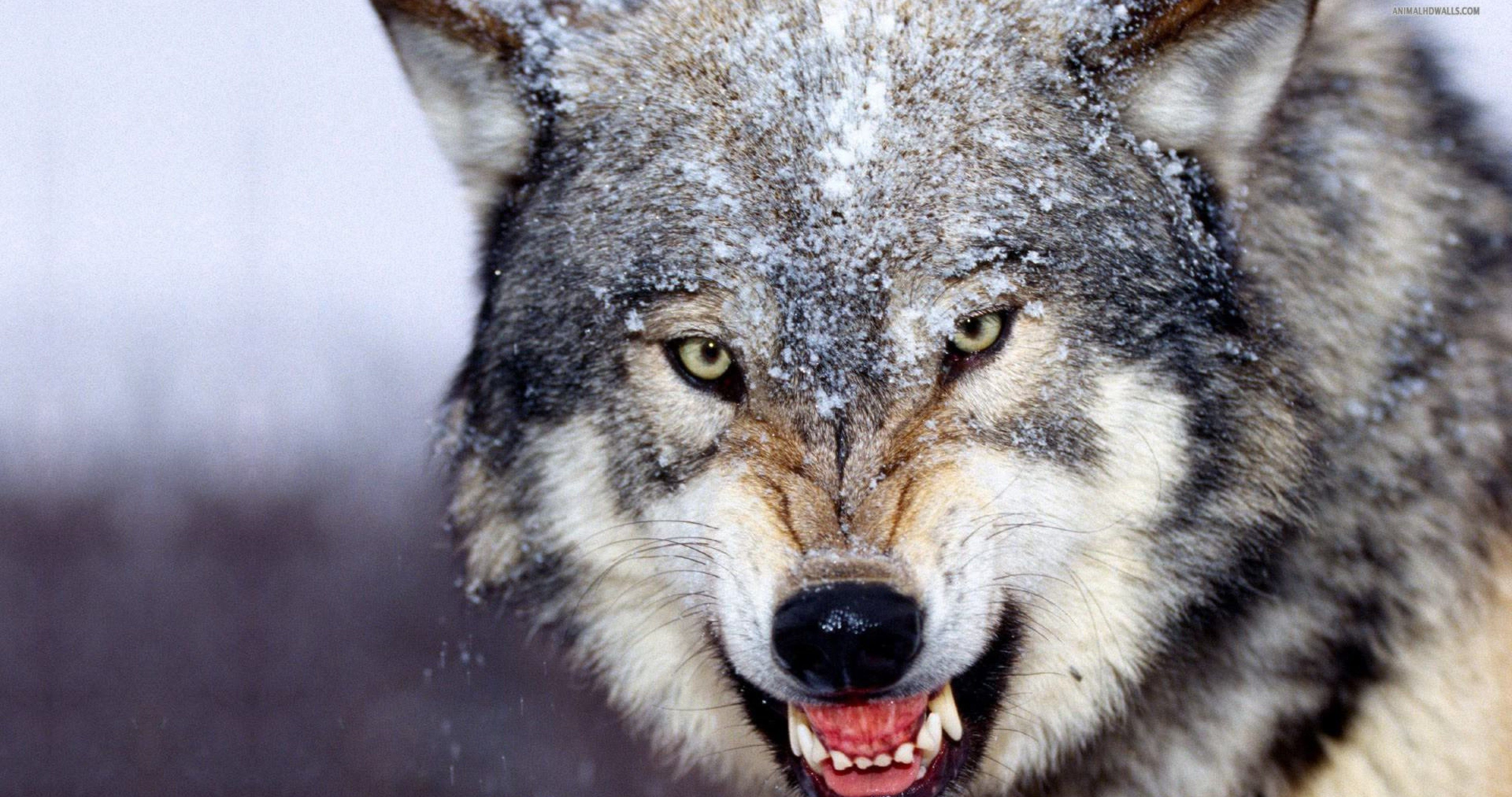Angry Wolf Wallpaper Hd 4k Ultra Hd Wallpaper Wild Animals Attack Angry Wolf Animal Attack