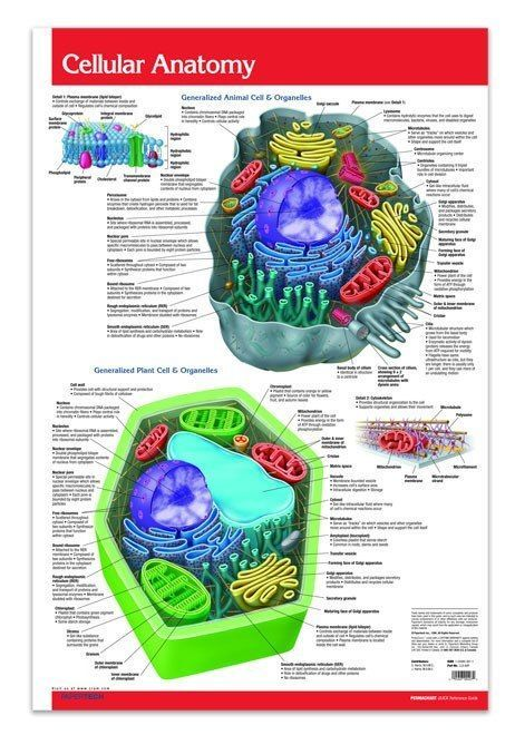 Cellular Anatomy Poster Chart 24 X 36 Biology Quick Reference