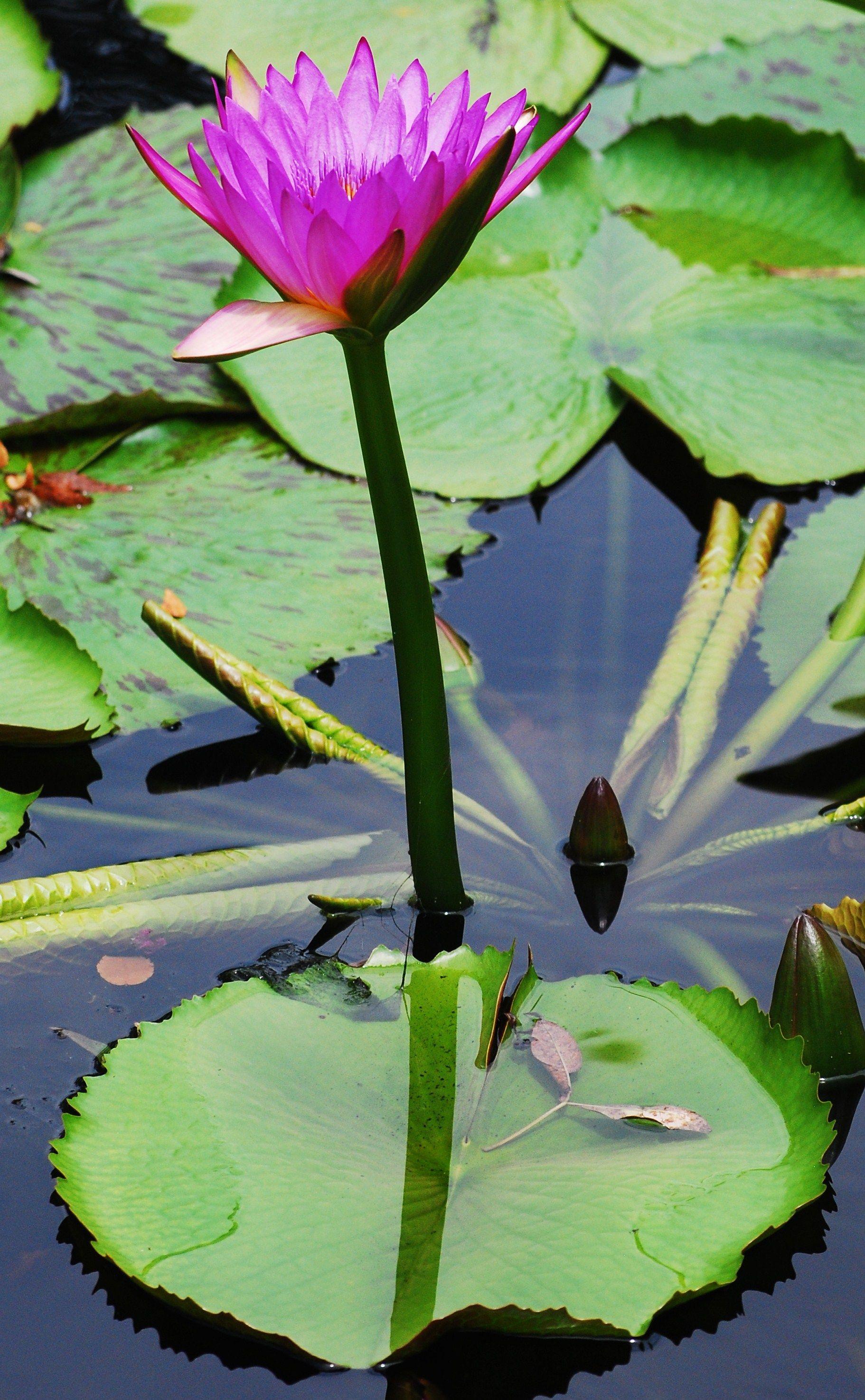 Botanical gardens lotus flower lotus flower pinterest lotus botanical gardens lotus flower izmirmasajfo