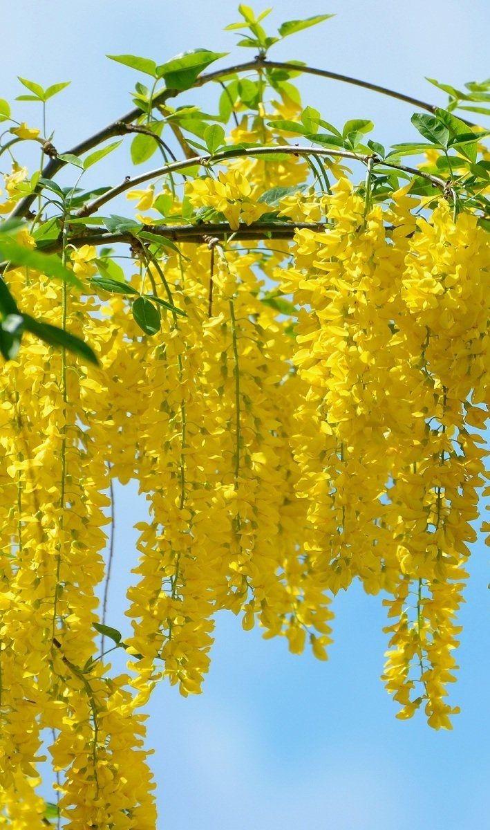 Yellow Wisteria Flowers Pinterest Flowers Flowering Trees