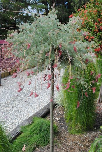 Grafted Native Standards Humphris Nursery Australian Plants Graftmasters Pick N