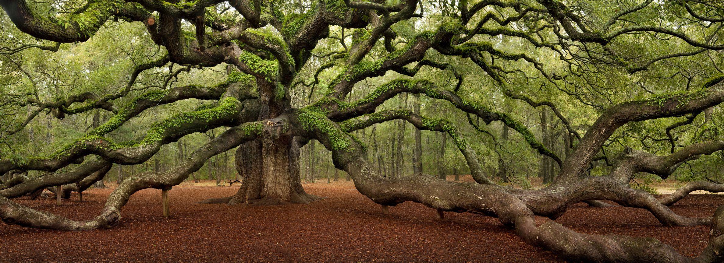 Angel Oak Tree (1500 years old), South Carolina