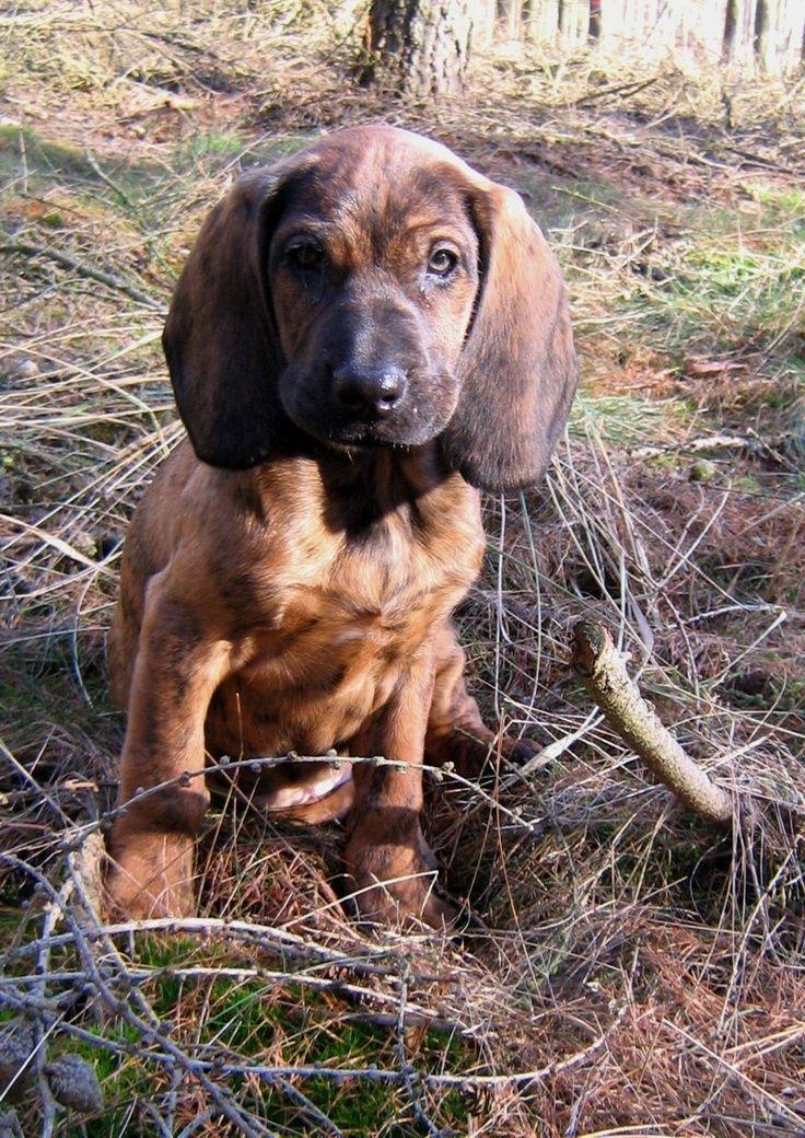 Hanoverian Scenthound Bloodhound Dogs Dog Breeds Dogs