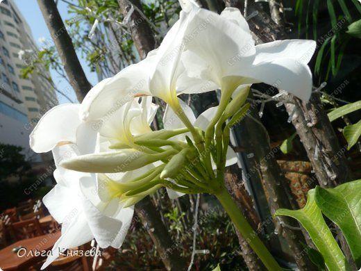 Вот и закончилась наша короткая поездка семьей на остров Ко Чанг, Тайланд. Фотографировала растения, которые растут в отеле и на прилегающей территории. Фотографий много, выложу не все... Начну с гибискуса фото 12