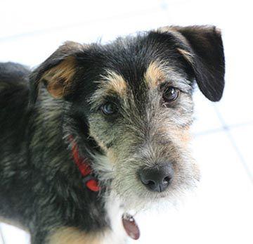 Happy End Foxy Kleiner Schnauzer Mischling Welpe N Zuhause Gefunden Tierbestandsbuch Archiv Schnauzer Mischling Tierschutz Hunde Hundefotos