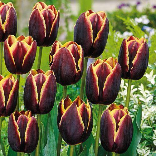 tulipe zone 3