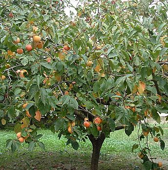 Persimmon Tree Beside Il Cedro Bed And Breakfast In