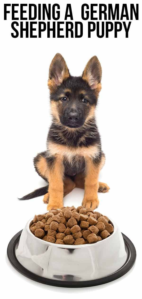 Feeding A German Shepherd Puppy The Right Way German Shepherd