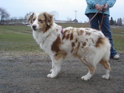 Red Merle Mini Aussie Cute Animals Dogs And Puppies Like Animals