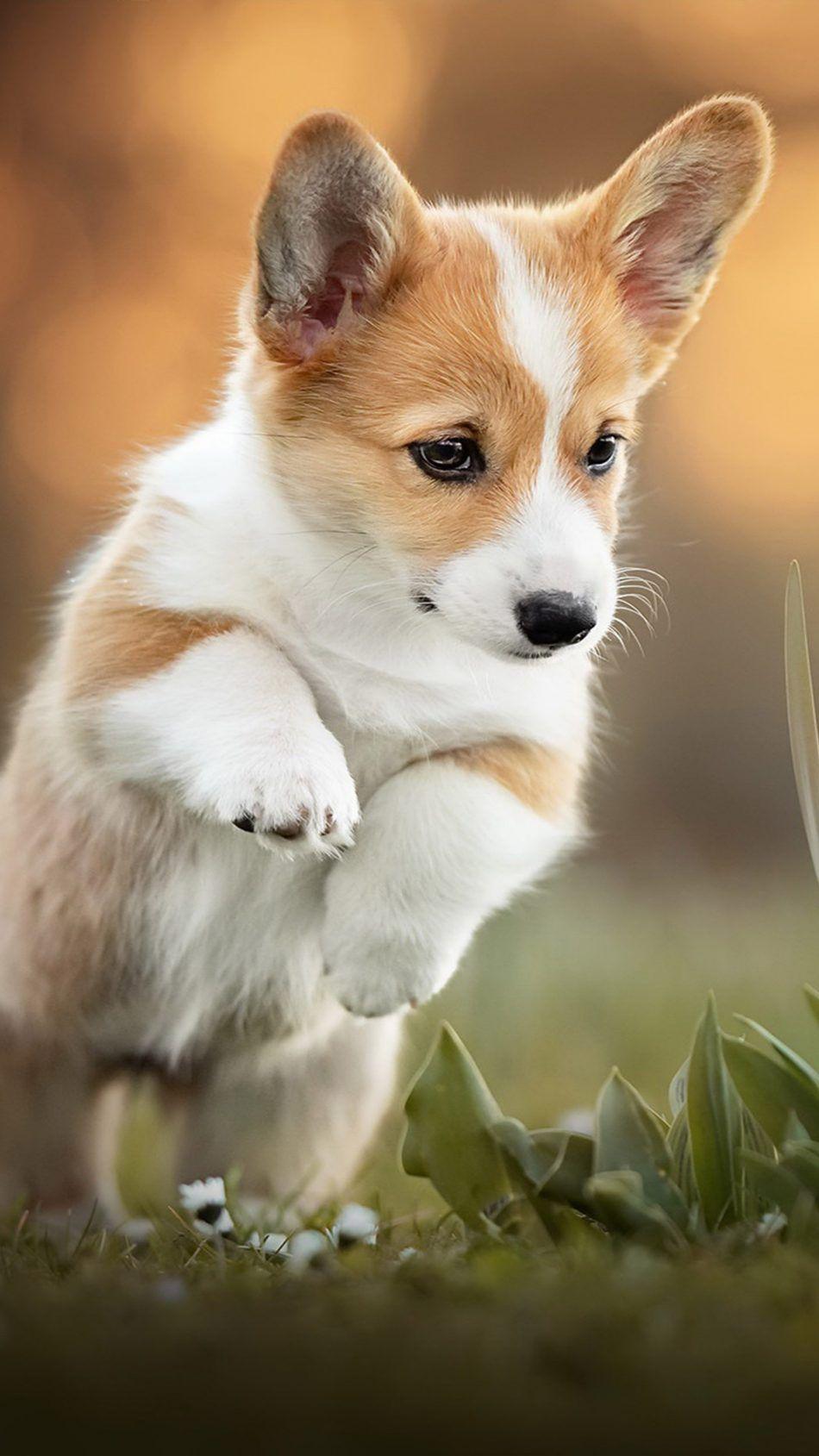 Corgi Puppy Pet Dog Corgi Puppy Cute Dog Wallpaper