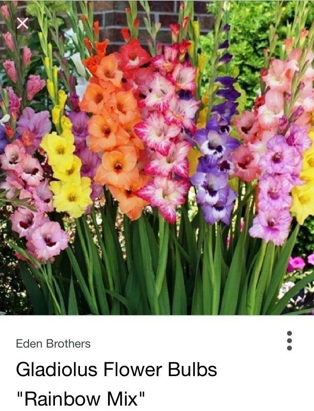 Rainbow Mix Gladiolus Gladiolus Is A Genus Of Perennial Cormous Flowering Plants In The Iris Family It Is Somet Gladiolus Flower Bulb Flowers Gladiolus Bulbs