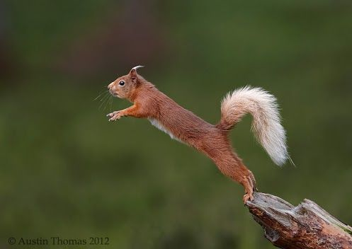 Springendes Eichhörnchen  Austin Thomas  The balancing act... - Very good for your core muscles I am told...    A Red Squirrel showing its agility skills...