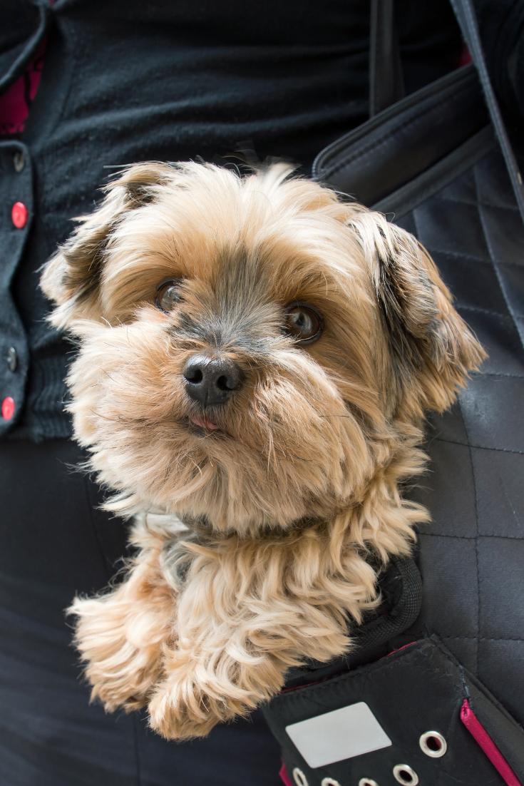 Adorable Yorkshire Terrier Inside Shoulder Bag Carrier Of A Woman