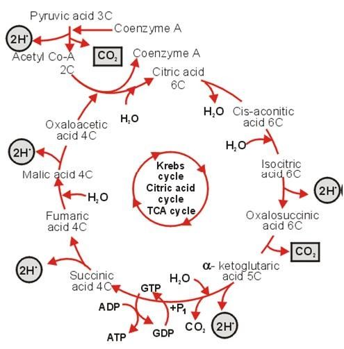 Krebs cycle Assignment Help | MyAssignmentHelp | Pinterest | Cycling