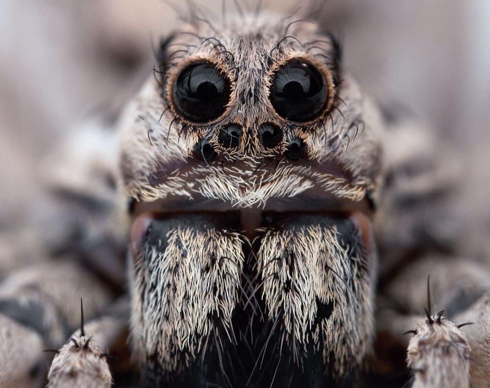 Close up on a Tarantula face